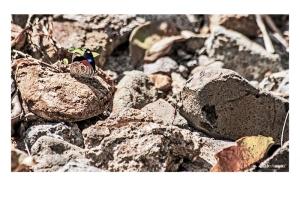 """""""Diaetria anna"""" es una de las mariposas más extrañas de observar en libertad."""